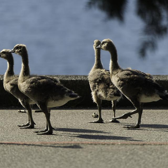 """""""Goslings on Stanley Park Seawall"""" stock image"""