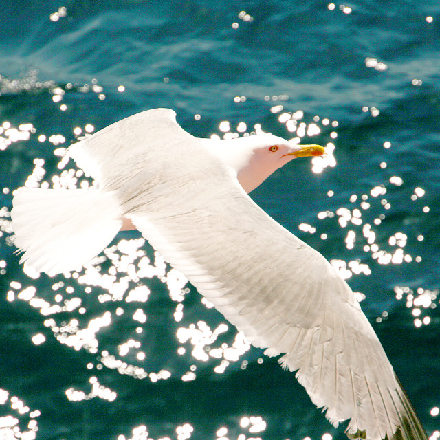 """Seagull over the blue Aegean"" stock image"