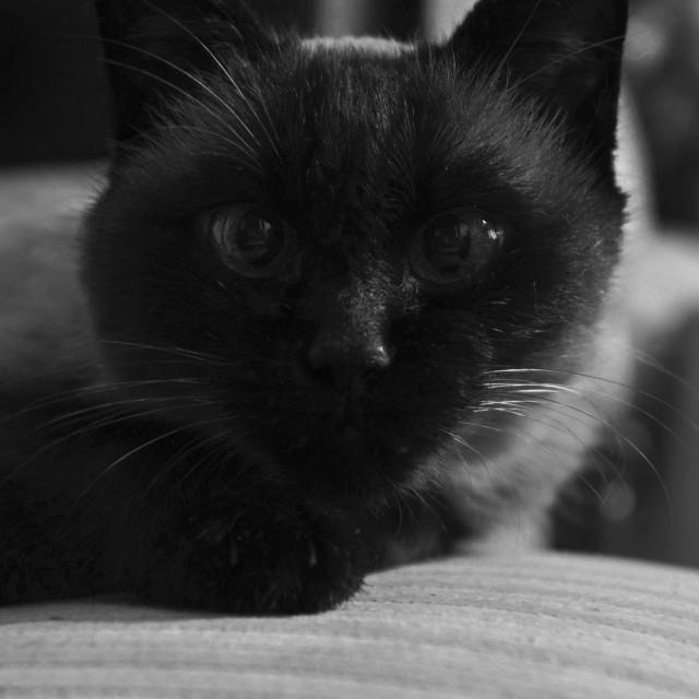 """Siamese cat, black & white"" stock image"