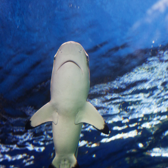 """reef shark gliding overhead"" stock image"