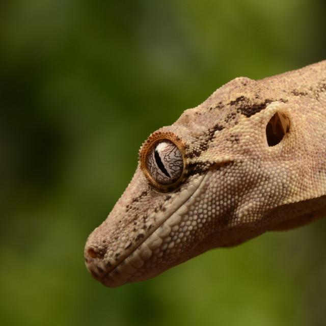 """Gargoyle gecko"" stock image"