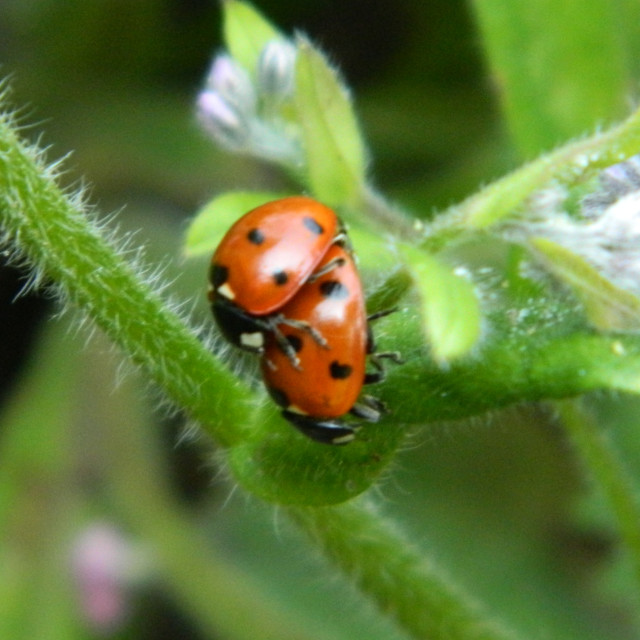 """Mating Ladybugs"" stock image"