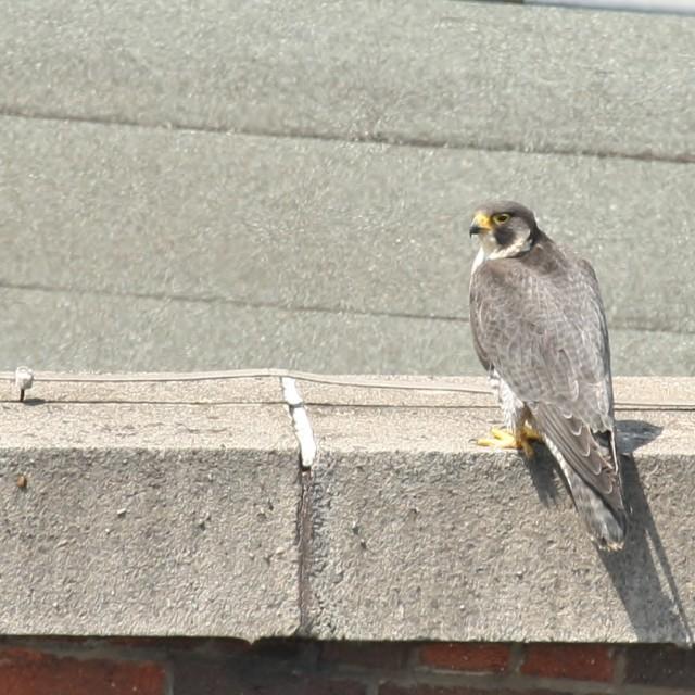 """""""Peregrine Falcon, Manchester June 2013"""" stock image"""