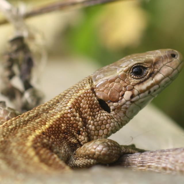 """Common Lizard, Burton Mere Wetlands RSPB Aug 2012"" stock image"