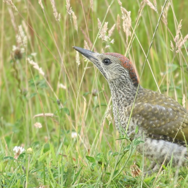 """Green Woodpecker, July 2013"" stock image"