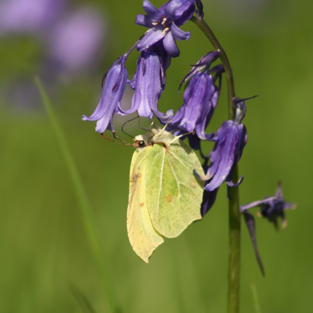 """Brimstone Butterfly, May 2012"" stock image"