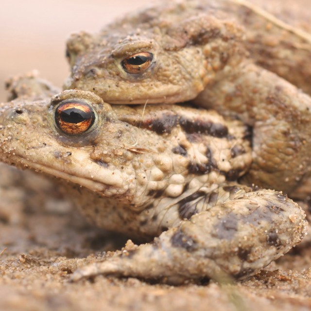 """Toad Amplexus, April 2013"" stock image"