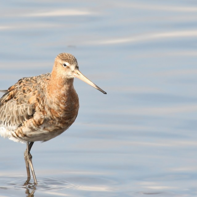 """Black Tailed Godwit, March 2013"" stock image"