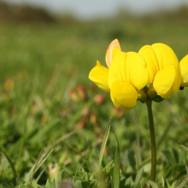 """Birds Foot Trefoil, May 2012"" stock image"