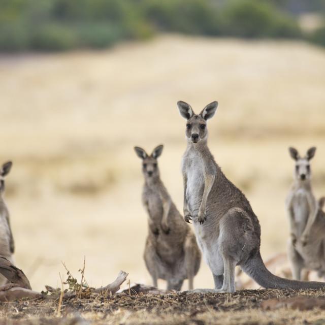 """""""Kangaroos"""" stock image"""