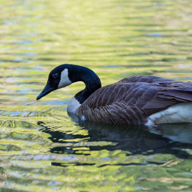 """Canadian Goose"" stock image"