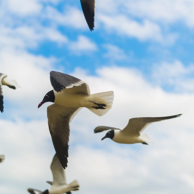 """Seagulls in Flight"" stock image"