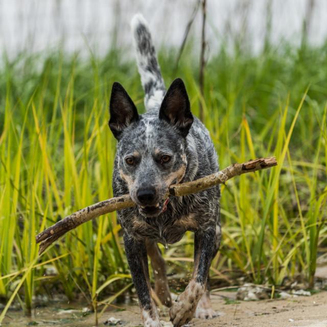"""Australian Cattle Dog Fetching Stick"" stock image"