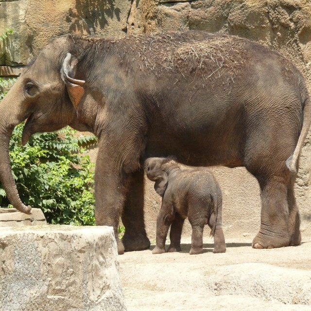 """Baby Elephant Nursing"" stock image"