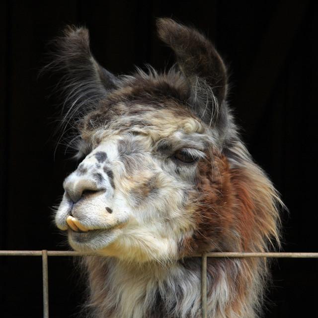 """""""Curious Llama"""" stock image"""