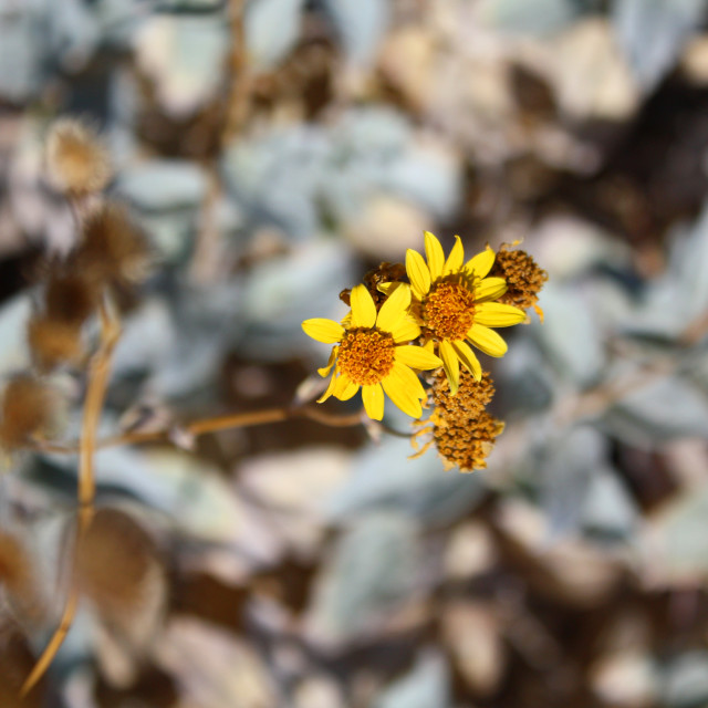 """Desert wildflower"" stock image"