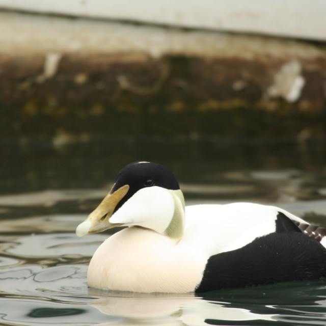 """Eider Duck (male), May 2013"" stock image"