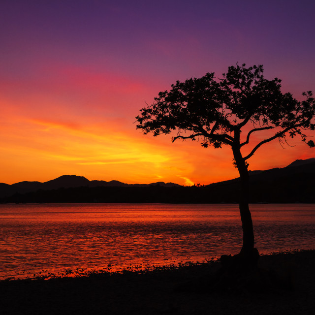 """Milarrochy Bay Tree, Loch Lomond, Scotland, UK"" stock image"