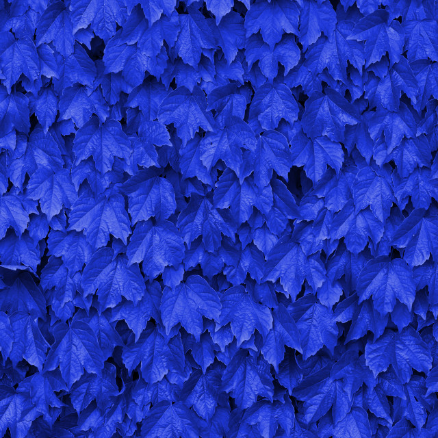 """Blue leaves over a wall"" stock image"