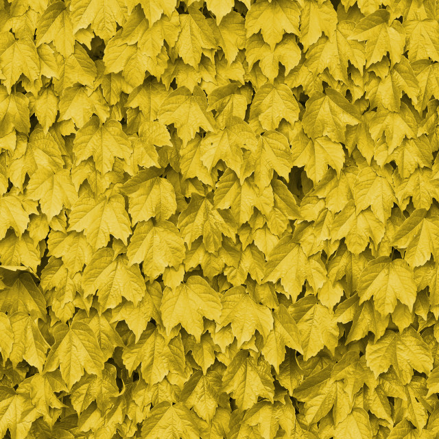 """Yellow leaves over a wall"" stock image"