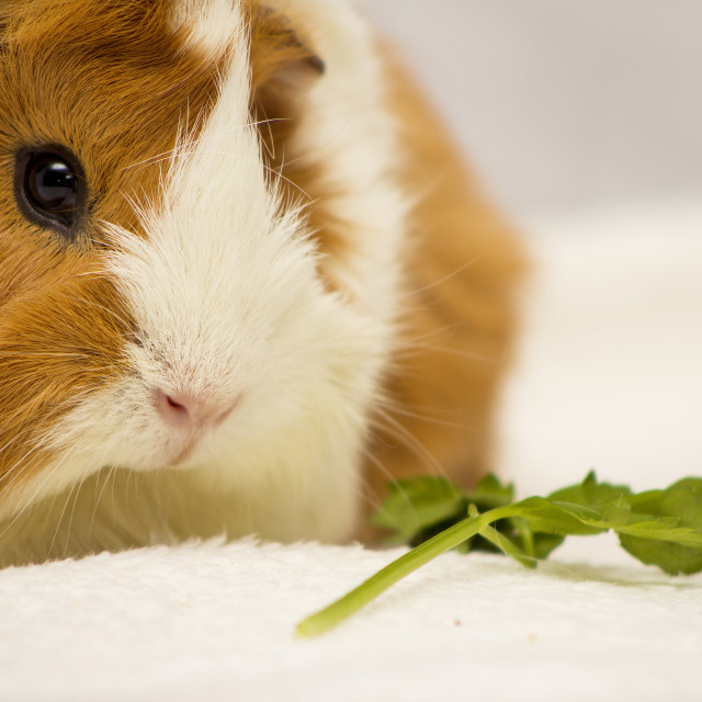 """""""Ginger and White Guinea Pig"""" stock image"""