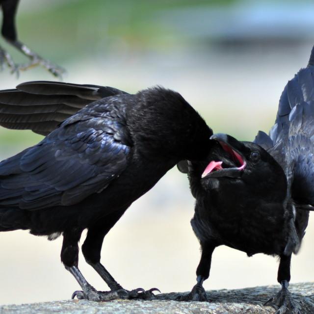"""Raven Feeding Juvinile Chick"" stock image"
