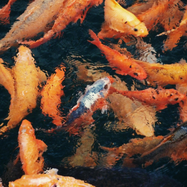 """Goldfish in a pond"" stock image"