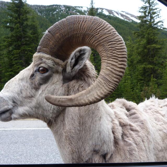 """Bighorn Sheep ram in Canada"" stock image"