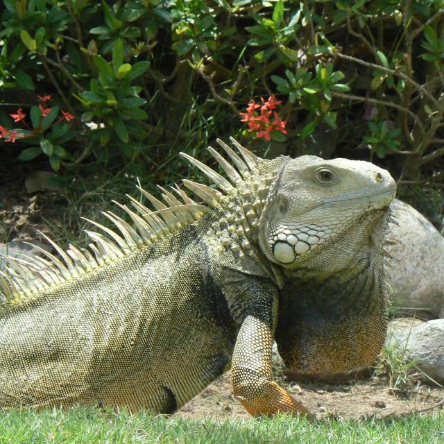 """Iguana in Guayaquil, Ecuador"" stock image"