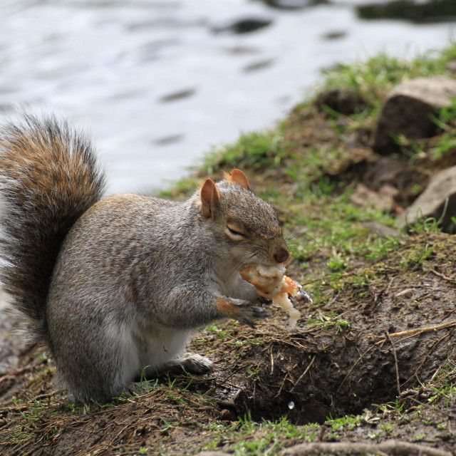 """""""Squirrel Eating like there's no tomorrow."""" stock image"""