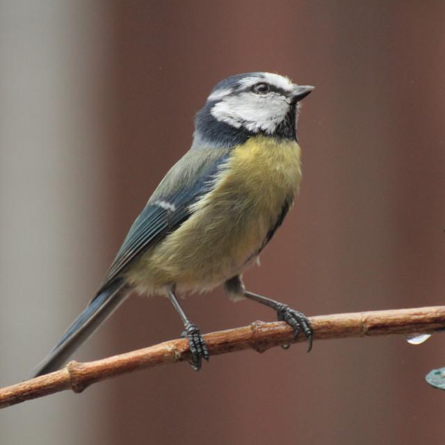 """Blue Tit (Cyanistes caeruleus) at the Feeder"" stock image"