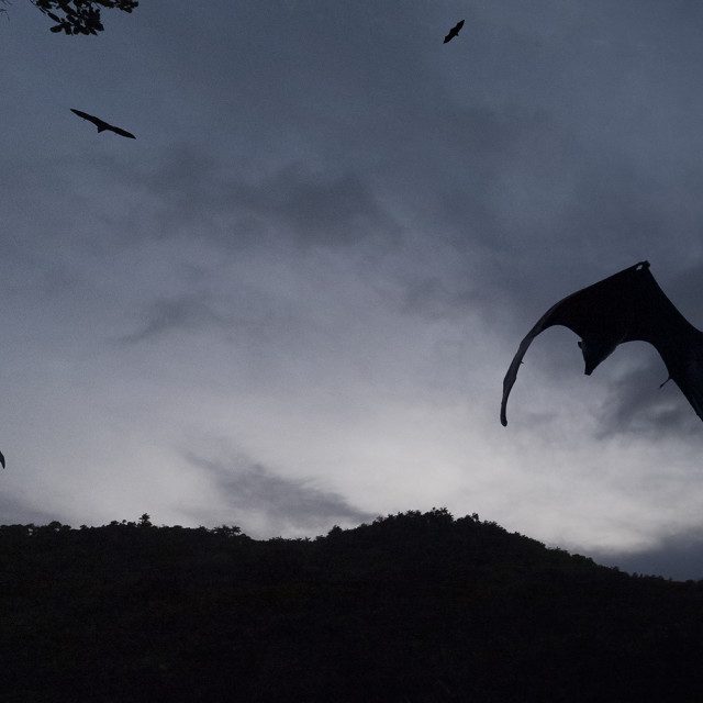 """Bats flying at dusk"" stock image"