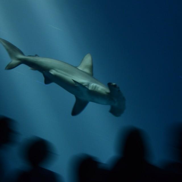 """Hammerhead shark"" stock image"