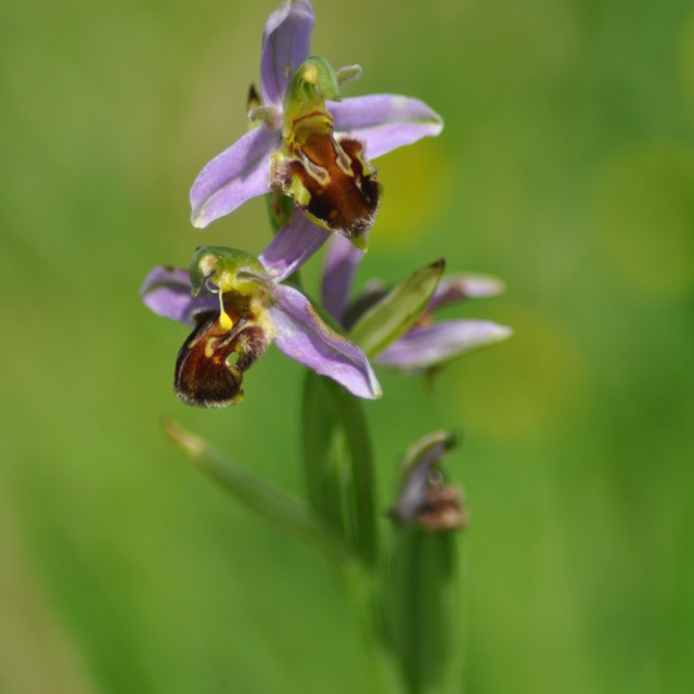"""Bee Orchid"" stock image"