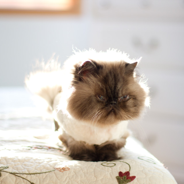 """Persian cat"" stock image"