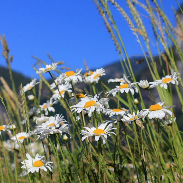 """Mountain valley daisies"" stock image"