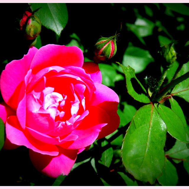 """""""Red Rose"""" stock image"""