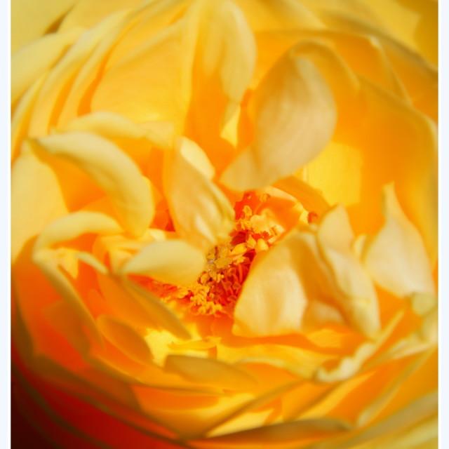 """Yellow Rose"" stock image"