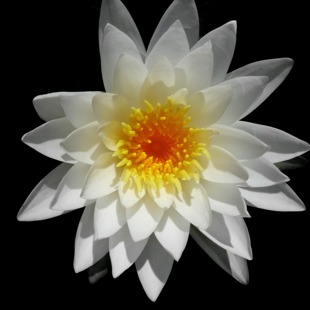 """""""Waterlilly"""" stock image"""