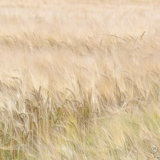 """Field of Grain"" stock image"