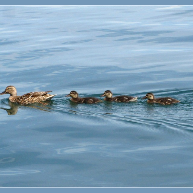 """Ducks in blue"" stock image"