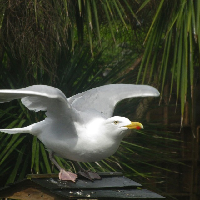 """Herring Gull takes flight"" stock image"