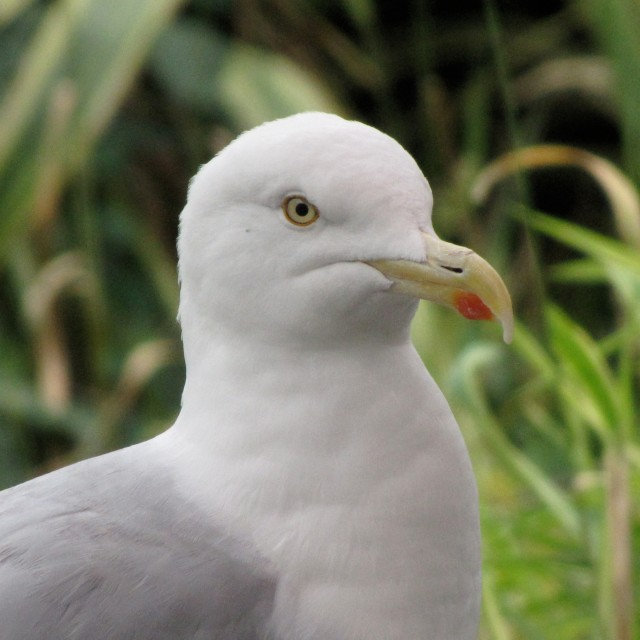 """Herring Gull"" stock image"