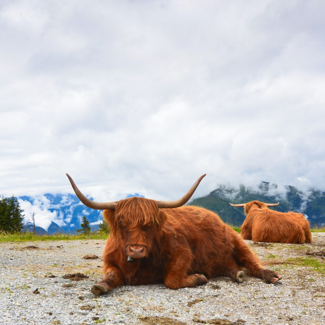 """Austrian cattle up the mountains"" stock image"