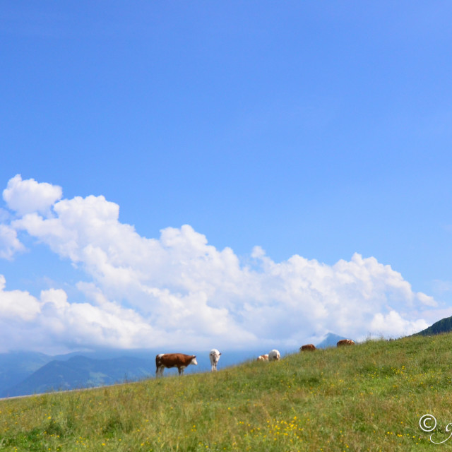 """Cows high on the slopes in Austria"" stock image"