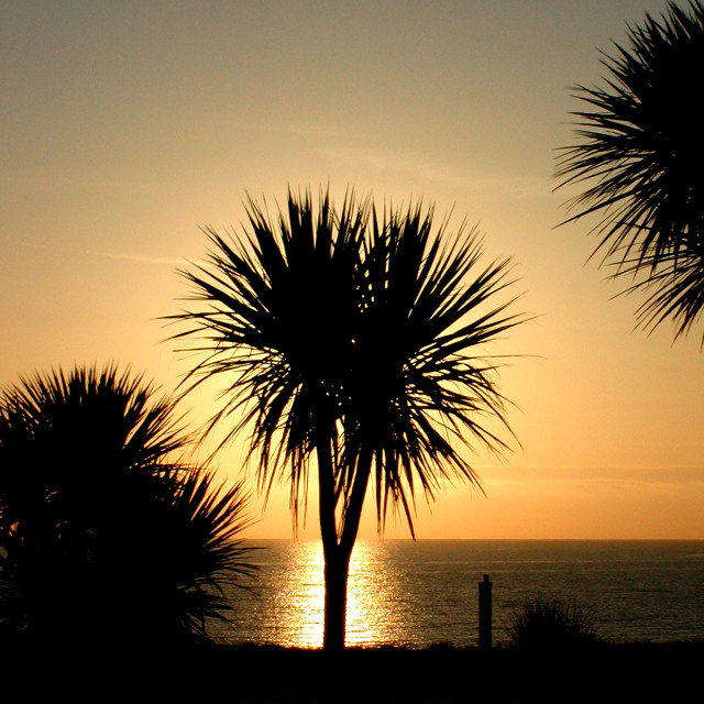 """Sunrise through Cordyline"" stock image"