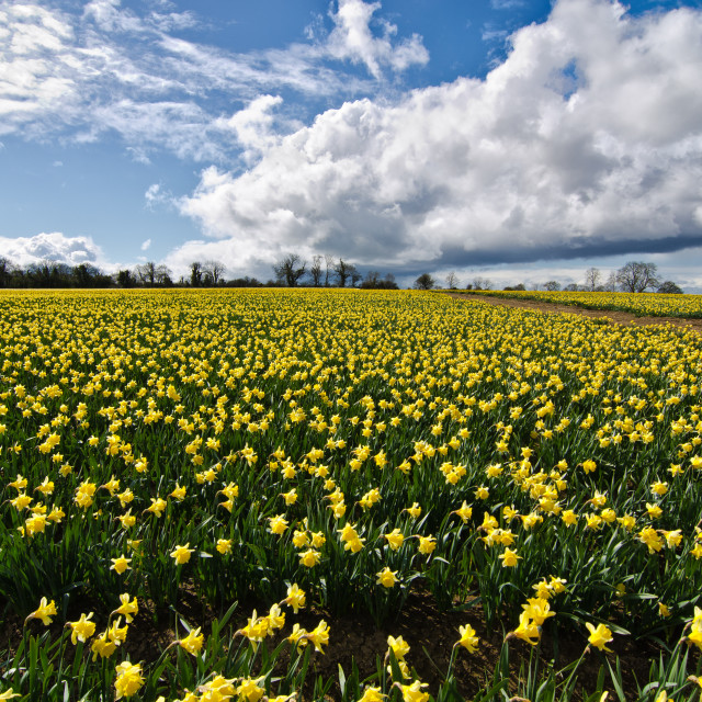 """Daffodils at Gormanston"" stock image"