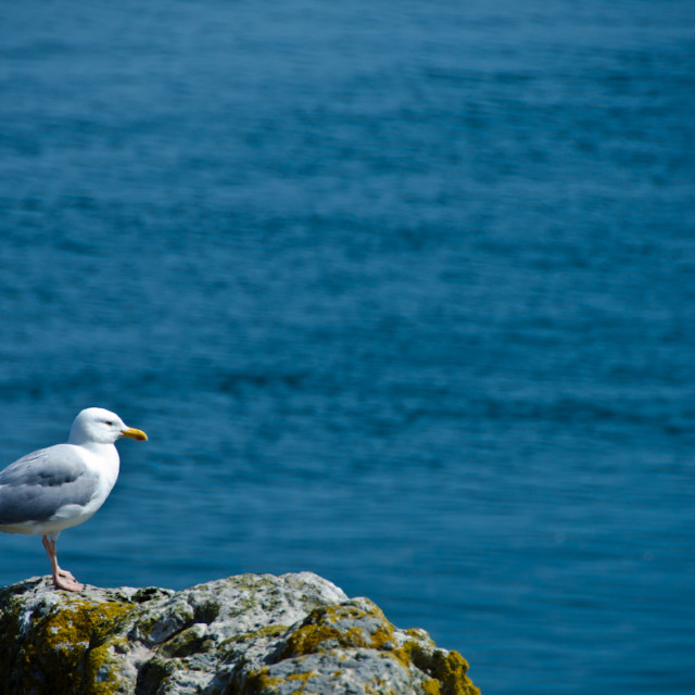 """Herring Gull on Irelands Eye"" stock image"