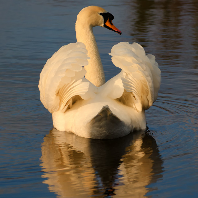"""Swan on Heywood Lake"" stock image"