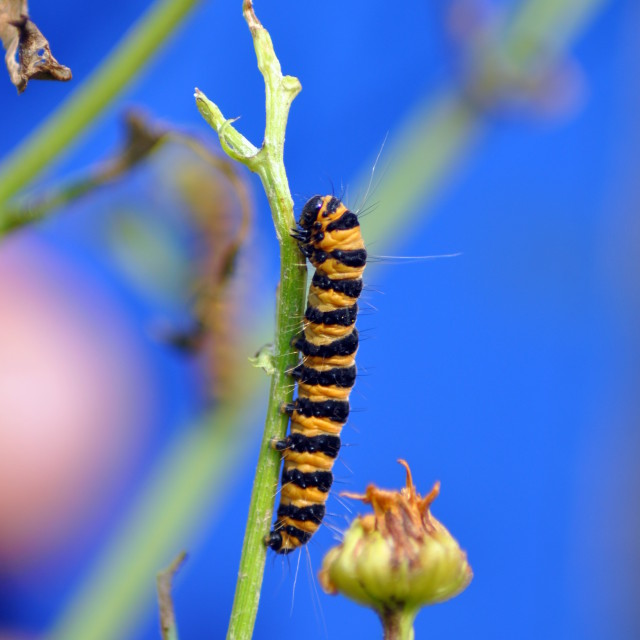 """Cinnabar Caterpillar with Iphone background"" stock image"